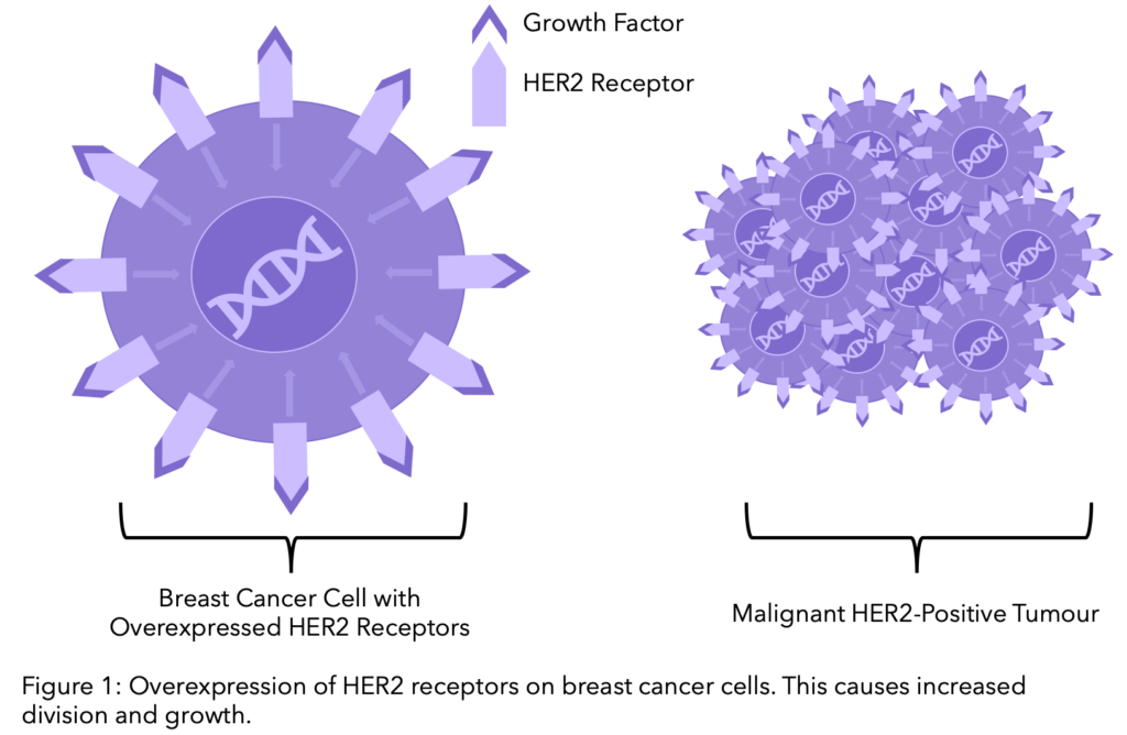 HER2 Receptors on cancer cells